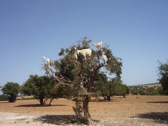 アルガンツリーの木